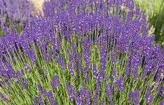 Betty's Blue  A stunning vibrant purple lavender with very uniform flowering and stiff erect stems that do not splay. The flowers have a soft sweet scent. Green-grey foliage. Good for drying. USA selection. UK introduction by Downderry 2005. Height 60cm (24in). Size: 9cm pot.