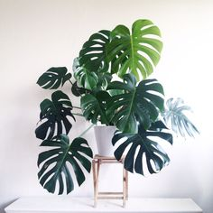 "Monstera deliciosa. Une version sans tuteur ; chez Truffaut, il l'appelle ""Monstera touffe""."