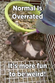 Awe!! How can people find rats so disgusting, their adorable!! Rodents are pets too!