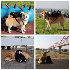 A Shiba who loves his backpack so much he can't go anywhere without it.