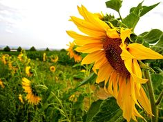 Cut-your-own sunflowers in Stuttgart, Germany/enclos*ure.