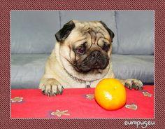Christmas Euro pug - http://europug.eu/christmas-euro-pug/