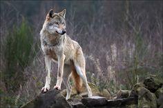 wolf - Cerca con Google