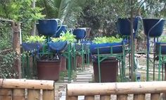 Barrel aquaponics. Perfect solution for a small sustainable garden and fish supply. This system could also easily support worm colonies, which could add  vigor to the plants.