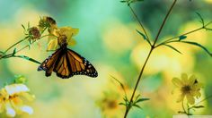 Monarch Butterfly On A Yellow Flower wallpaper Flowers That Attract Butterflies, Beautiful Butterflies, Yellow Flower Wallpaper, Yellow Flowers, Summer Flowers, Monarch Butterfly, Madame Butterfly, Butterfly Images, Butterfly Painting