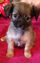Tot is an adoptable Maltese Dog in Mission Viejo, CA. Tot is an absolutely adorable 6 week old Maltese chihuahua mix. Tot was rescued from a very high kill shelter when someone turned him and his brot...