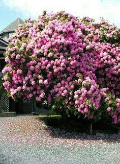 Pink flowers blooming tree.......