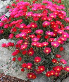 lampranthus hot flash high x 3 wide, drought tolerant, sun, low-avg water --quant 2 Drought Resistant Plants, Drought Tolerant Garden, Flowers Perennials, Planting Flowers, Portulaca Flowers, Landscaping Plants, Garden Plants, Red Flowers, Beautiful Flowers