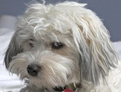 Maybe Chip had some Havanese in his mix as well. sure looks possible. Havanese & the don& mess with me look. Love the gray& The post Maybe Chip had some Havanese in his mix as well. sure looks possible. Hava& appeared first on Jim Norman Dogs. Havanese Puppies For Sale, Havanese Dogs, Baby Puppies, Cute Puppies, Pet Dogs, Dogs And Puppies, Dog Cat, Doggies, Havapoo Puppies