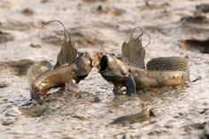 Mudskippers are completely amphibious fish, fish that can use their pectoral fins to walk on land. Being amphibious, they are uniquely adapted to inter-tidal habitats, unlike most fish in such habitats which survive the retreat of the tide by hiding under wet seaweed or in tidal pools.