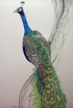 Peacock drawing in coloured pencil by jess Stanley art.