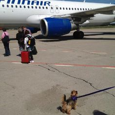 Latour yorkie boy waiting to go onboard ✈