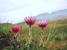 Straw Flowers, indigenous to Drakensberg of KZN