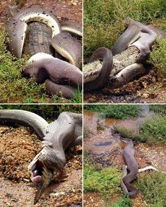 Extraordinary photographs and video of a snake battling a crocodile.
