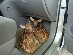 Funniest Animal Pictures Don't leave your door open when unloading groceries when you live in the country! ♡ deer ♡ twin fawns Sharing is caring, don't forget to share ! Cute Funny Animals, Funny Animal Pictures, Cute Baby Animals, Funny Cute, Animals And Pets, Cute Pictures, Animal Pics, Random Pictures, Hilarious Pictures