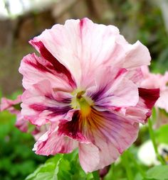 Strawberry Cream pansy -- a frothy confection. Looks edible and actually is!