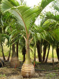 Looking for wholesale palms? Contact Florida's premiere wholesaler of palm trees today! Palm Garden, Tropical Garden Design, Home Garden Plants, Backyard Plants, Palm Trees Landscaping, Tropical Landscaping, Colorful Plants, Tropical Plants, Bottle Palm Tree