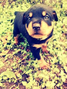 4 week old Rottweiler puppy =)