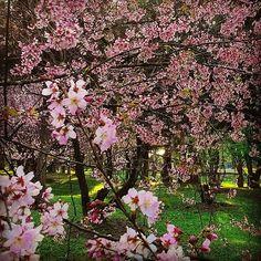 Bosque das Cerejeiras do Parque do Carmo. Saiba sobre a festa em: www.testeievoce.com.br/2015/07/parque-carmo-festa-cerejeiras-sakura.html. #Cerejeiras #Sakura #FestaDaCerejeira #FlorDeCerejeira #ParqueDoCarmo #Tree #Cerejeiras #FestaDasCerejeiras #CherryBlossom #37FestaDaCerejeira #InstaFlower #Flores #Japão #InstaBlogs #BrazilianBlogger #Blogger #testeiEvoce