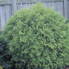 Dwarf Globe Arborvitae 'Little Gem' (Thuja occidentalis) | My Garden Insider