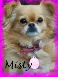 Misty is an adoptable Japanese Chin Dog in Anaheim Hills, CA. Misty is a 2 year old, 7 lb. beautiful girl. She is super sweet, social, and as the Chins do she will talk to you with the cutest little ...