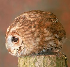 A ball of owl! The website this comes from is like the mecca of cute animal pictures, btw, if that's what you're into.