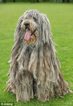 Bergamasco Sheepdog dog art portraits, photographs, information and just plain fun. Also see how artist Kline draws his dog art from only words at drawDOGS.com #drawDOGS http://drawdogs.com/product/dog-art/bergamasco-sheepdog-dog-portrait-by-stephen-kline/