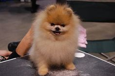 Pomeranian     Like, repin, share! :)