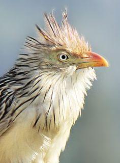 Foto anu-branco (Guira guira) por Bruno Neri   Wiki Aves - A Enciclopédia das Aves do Brasil