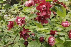 Sinocalycanthus - Chinese Wax Plant Calycanthus,Calycanthus x raulstonii 'Hartlage Wine' Sweetshrub