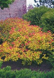Gold Flame Spirea ~ stunning fall color!