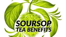 Discover the reasons why you should consume Soursop Tea. Soursop tea comes with an impressive list of health benefits. Also referred as pawpaw tea or Graviola tea, it is derived from soursop plant, which is scientifically known as the Annona muricata. This plant is native to the tropical regions of America. While this.