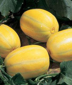 Melon, Early Silverline ,