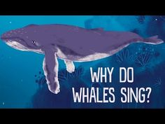 Communicating underwater is challenging. Light and odors don't travel      well, but sound moves about four times faster in water than in air —      which means marine mammals often use sounds to communicate. The most      famous of these underwater vocalizations is undoubtedly the whale song.      Stephanie Sardelis decodes the evocative melodies composed by the      world's largest mammals.