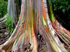Rainbow Eucalyptus -- located in Kailua, Hawaii. The barks of the trees can take on a yellow, green, orange, and even purple shading!
