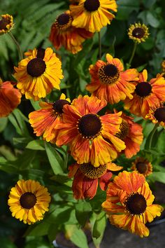Helenium 'Luc' is a herbaceous summer flowering perennial in shades of red, orange and yellow  which is attractive to bees