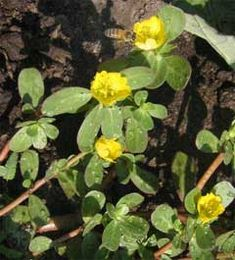 Portulaca oleracea or purslane - the highest omega 3 plant on earth, also high in vitamins A, E and C.  Very tasty for humans and goats alike.