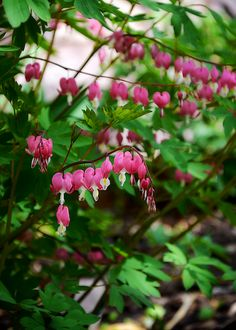 Bleeding Heart is sooo pretty! Great Mothers Day Gifts, Mother Day Gifts, Dream Garden, Home And Garden, Bleeding Hearts, Old Faithful, Sun Shade, Garden Paths, Beautiful Gardens