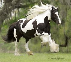 Looks like a paint clydesdale !  Powerful !  ;)