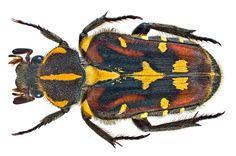 Family: Scarabaeidae Size: 15 mm (14,5-17.5 mm) Origin: Southeast China, North Vietnam, Laos, North Thailand, Myanmar Location: North Vietnam, Cao Bang Prov., Vin Den, Nui Pia Oac Natural Research, 900-1300 m leg. A.Skale, 6.-10.V.2013; det. U.Schmidt, 2013 Photo: U.Schmidt, 2013