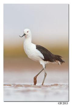 ANDEAN AVOCET - Recurvirostra andina . . . Andes above 3500m in NW Argentina, W Bolivia, N Chile, S Peru.