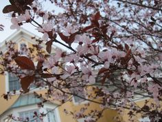 These beautiful trees bloom in the early spring, and fill out with purple foliage later in the season.