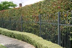 Two style of hedges separated by a metal fence.