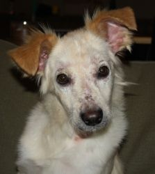 Cyrus is an adoptable Collie Dog in Littleton, CO. Cyrus Update : What a difference LOVE makes! Not to mention amazing vet care (thanks to Deer Creek Animal Hospital), lots of medicine and loads of TL...