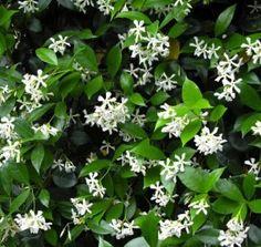 Star Jasmine Vine -- partial shade, very fragrant in spring