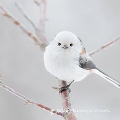 white headed long tailed tit/ Round eyes by Masatsugu Ohashi on Cute Birds, Pretty Birds, Beautiful Birds, Cute Baby Animals, Animals And Pets, Funny Animals, Wild Nature, Little Birds, Blue Bird