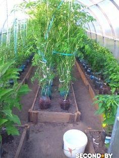 """""""Банки 5 – литровые, у них отрезан низ и вверх, низ прикопан на 5 см в землю, а в банку насыпаю плодородной земли и сажаю. Затея классная, корни не вымываются, а идут под банками, полив только в банки, подкормка только для растения идет ,влажности в парнике меньше и фитофторы меньше, вокруг банок суха и полоть …"""