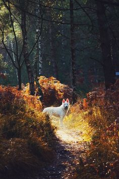 Beautiful Swiss White Shepherd in the woods. Blue German Shepherd, White Swiss Shepherd, German Shepherd Puppies, German Shepherds, Three Dog Night, White Dogs, Nature Pictures, I Love Dogs, Animals Beautiful