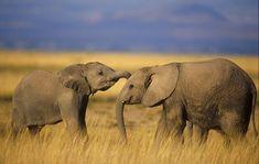 African elephants: My favorite wild animal.