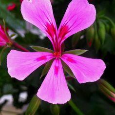 Geranium #flowertrials